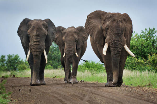 Mammal Photograph - Three Big Elephants On A Dirt Road by Johansjolander