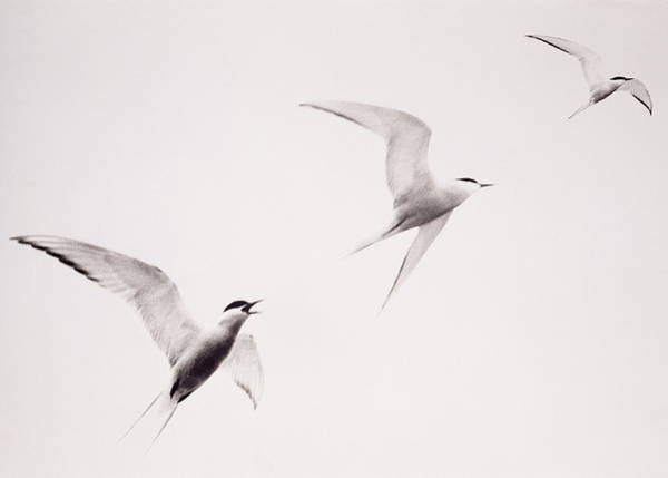 Wall Art - Photograph - Three Birds Called Terns In Black And by John W Banagan
