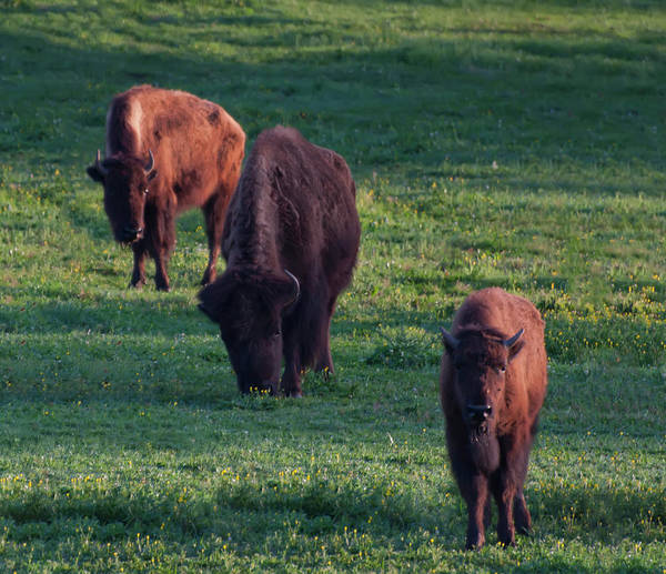 Photograph - Three Bison In A Field by Chris Flees