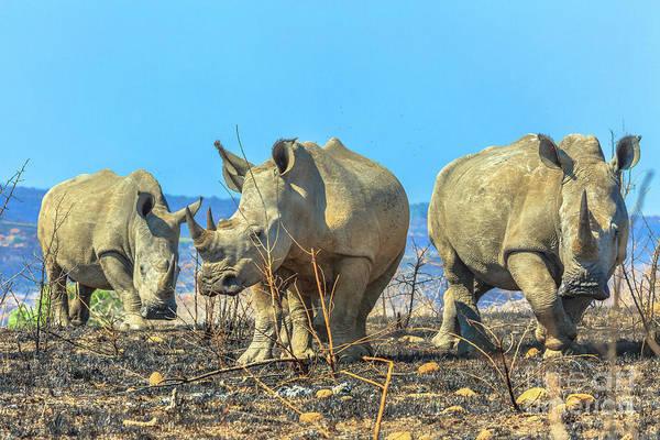 Photograph - Three Black Rhinos by Benny Marty