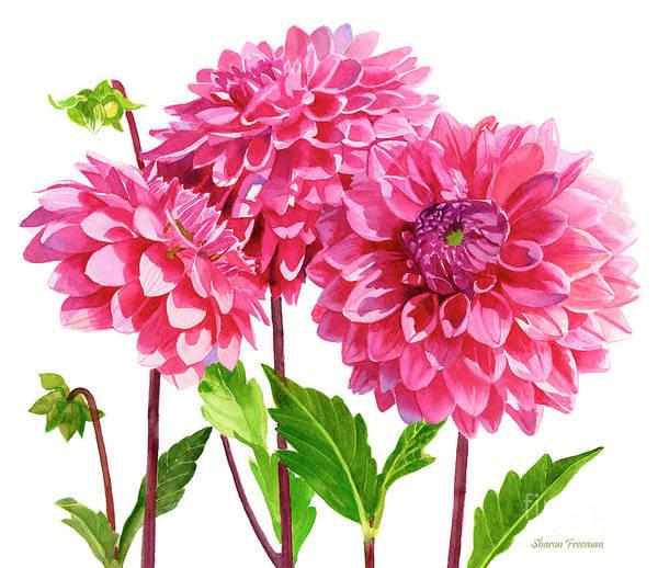Wall Art - Painting - Three Bright Pink Dahlias by Sharon Freeman