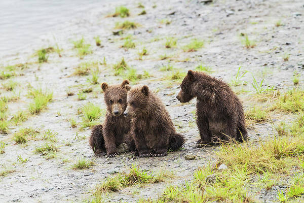 Born In The Usa Photograph - Three Brown Bear Spring Cubs Wait On by John Delapp / Design Pics