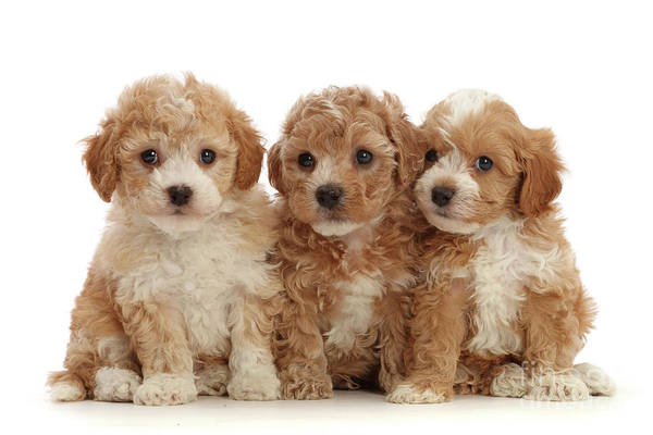 Photograph - Three Cavapoochon Puppies by Warren Photographic