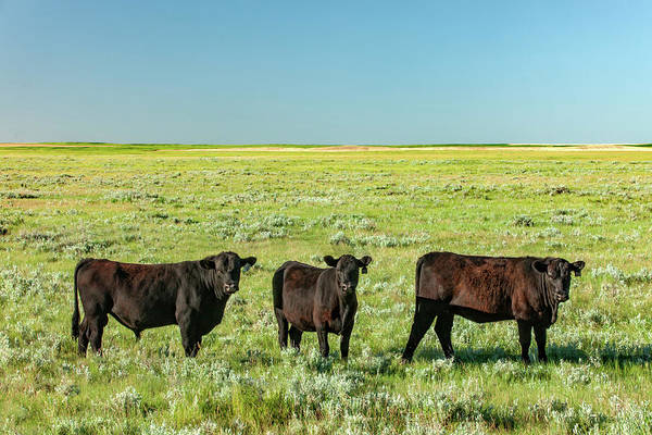 Sagebrush Photograph - Three Cows In A Field by Todd Klassy