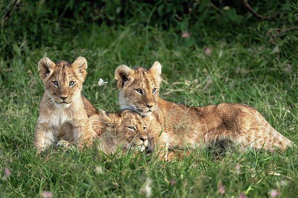 Wall Art - Photograph - Three Cute Lion Cubs In Kenya Africa Grasslands by Susan Schmitz