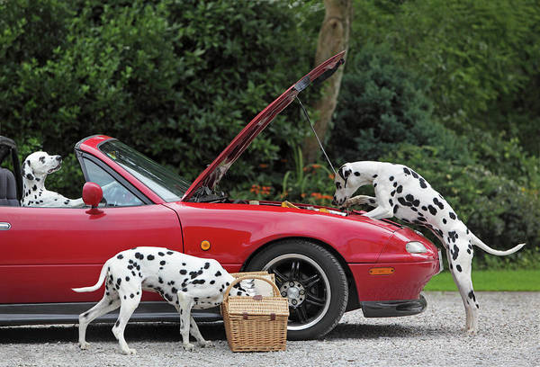 Dalmatian Dog Photograph - Three Dalmatians Around Red Sports Car by Peter Cade
