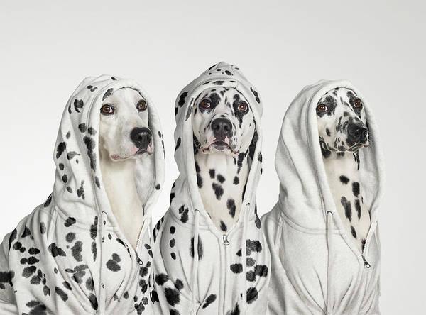 Dalmatian Dog Photograph - Three Dalmations Wearing Hoodies by Gandee Vasan
