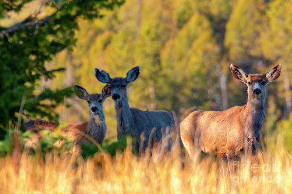 Photograph - Three Deer On A Warm Colorado Spring Morning by Steve Krull