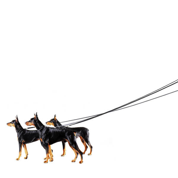 Doberman Wall Art - Photograph - Three Dobermans On Leash by Thomas Northcut