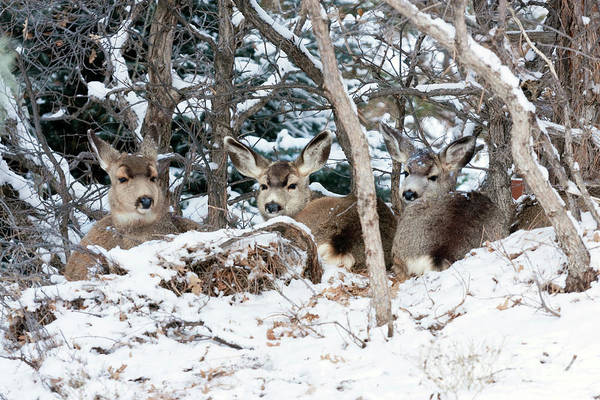 Photograph - Three Does Resting In The Snow by Steve Krull