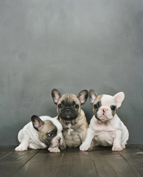 Puppy Photograph - Three French Bulldog Puppies Sitting by Sharon Montrose
