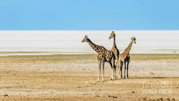 Photograph - Three Giraffes, Etosha National Park, Namibia by Lyl Dil Creations