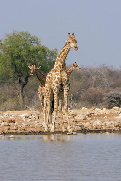 Wall Art - Photograph - Three Giraffes Peer by Brenda Tharp