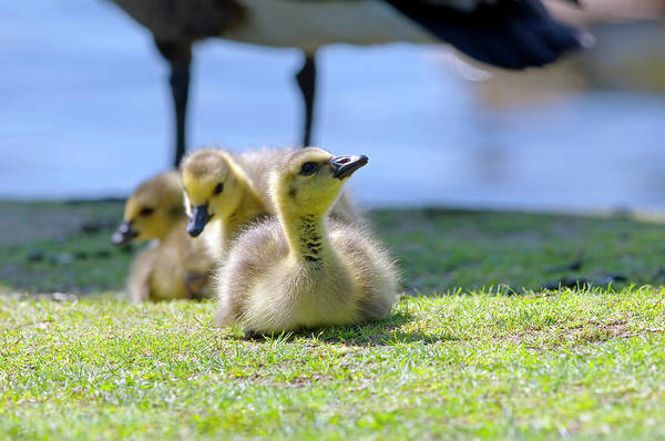 Gosling Photograph - Three Goslings by Sharon Talson