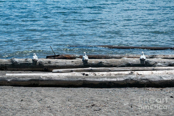 Photograph - Three Gulls On A Log by Matthew Nelson