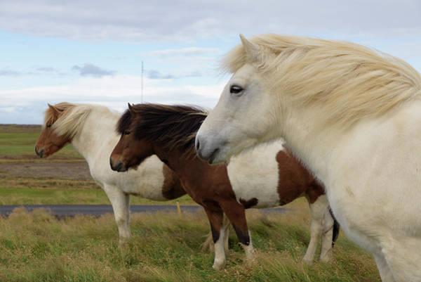 Photograph - Three Icelandic Horses At Helgafell #1 by RicardMN Photography