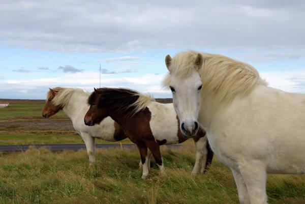 Photograph - Three Icelandic Horses At Helgafell #2 by RicardMN Photography