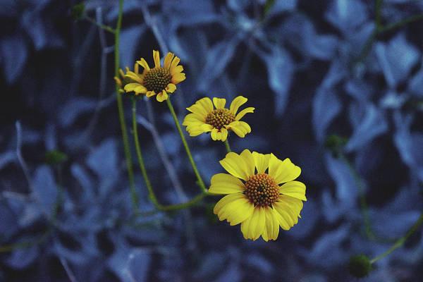 Photograph - Three Little Flowers by Chance Kafka