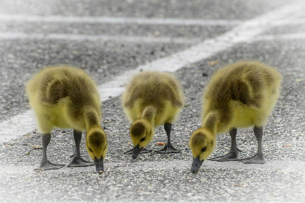 Gander Photograph - Three Little Geese by Sandi Kroll