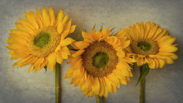 Wall Art - Photograph - Three Lovely Textured Sunflowers by Garry Gay