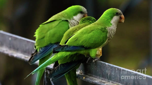 Photograph - Three Monk Parakeets Perched On A Fence by Pablo Avanzini