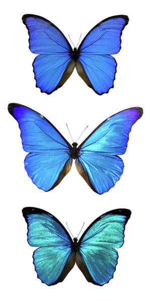 Wall Art - Photograph - Three Morpho Butterflies by Imv
