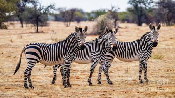 Photograph - Three Mountain Zebras, Namibia by Lyl Dil Creations