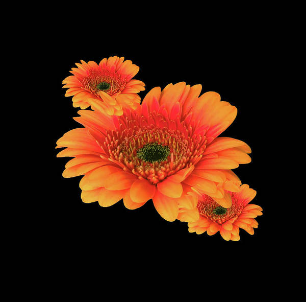 Wall Art - Photograph - Three Orange Gerberas by Johanna Hurmerinta