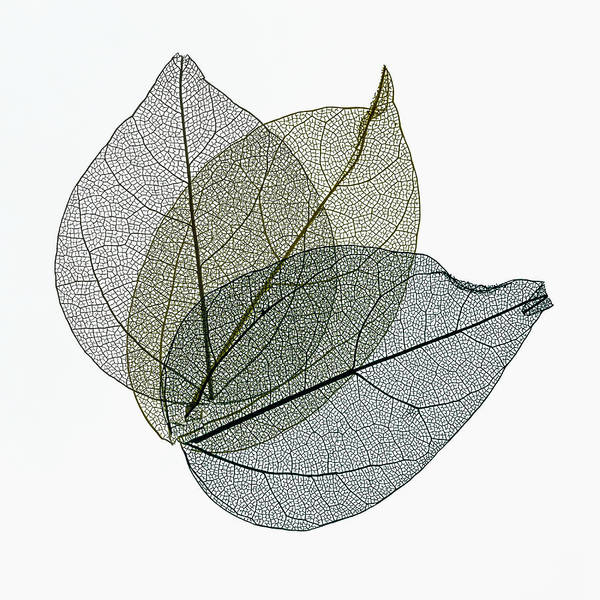 Photograph - Three Overlapping Skeleton Leaves On White by Gary Slawsky