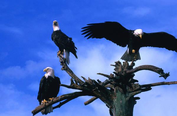 Wall Art - Photograph - Three Perching Bald Eagles Haliaeetus by Mark  Newman
