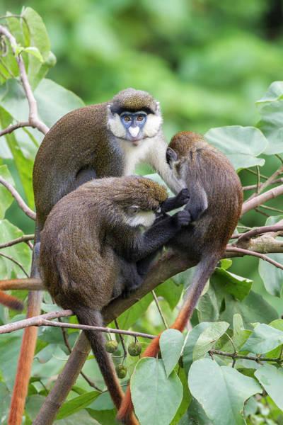 Leaf Monkey Wall Art - Photograph - Three Red-tail Monkeys Preening In Tree by Mark Smith