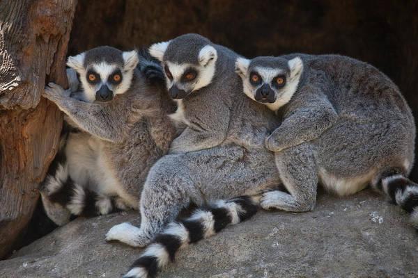 Santa Rosa Photograph - Three Ring-tailed Lemurs At Safari West by Judy Bellah