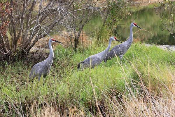 Photograph - Three Sandhill Cranes By The Pond by Carol Groenen