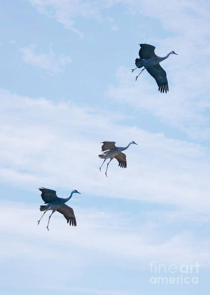 Photograph - Three Sandhills Ready For Landing by Carol Groenen