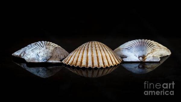 Three Seashells Photograph - Three Scallops by Alma Danison
