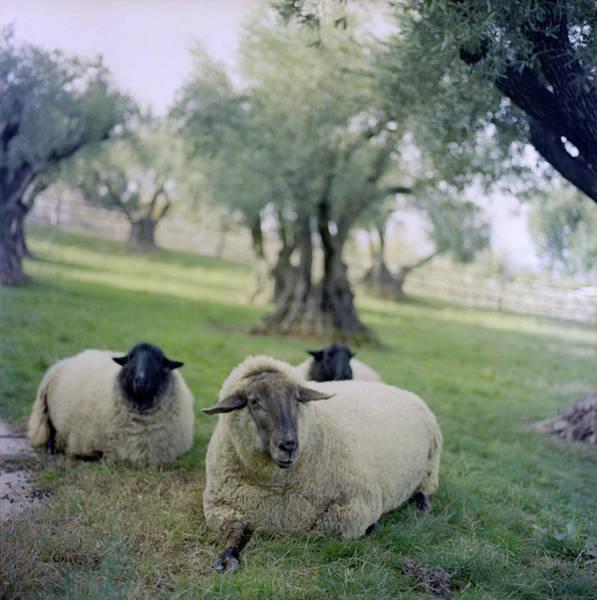 Napa Valley Photograph - Three Sheep, Napa Valley, California by Tuan Tran