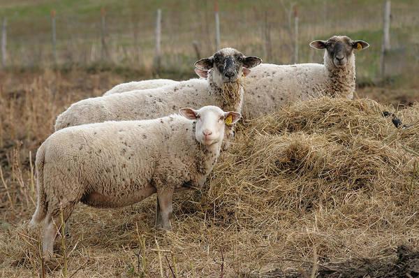 Wall Art - Photograph - Three Sheep by Steve Gadomski