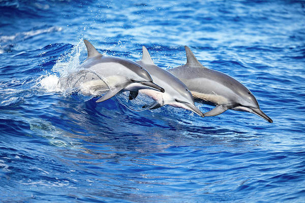 Wall Art - Photograph - Three Spinner Dolphins  Stenella by Dave Fleetham