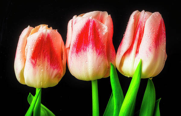 Wall Art - Photograph - Three Spring Tulips by Garry Gay