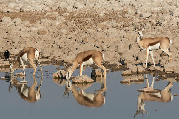 Wall Art - Photograph - Three Springbok Pause To Drink by Brenda Tharp