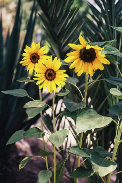 Wall Art - Photograph - Three Sunflowers by Pati Photography