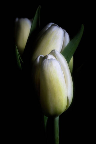 Photograph - Three Tulips by Cyndy Doty