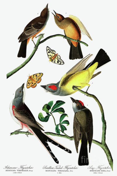 Wall Art - Painting - Three Varieties Of Flycatcher From Audubon by John James Audubon