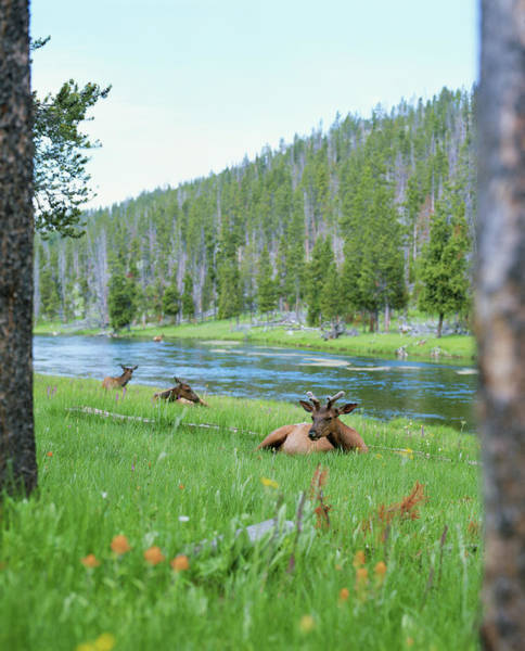 Wall Art - Photograph - Three Wapati Elk Cervus Canadensis by Jayme Thornton