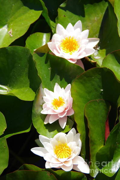 Wall Art - Photograph - Three Water Lilies by Jeff Swan