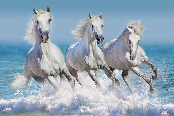 Three White Horse Run Gallop In Waves Art Print