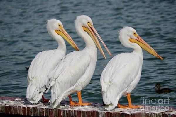 Photograph - Three White Pelicans by Carol Groenen
