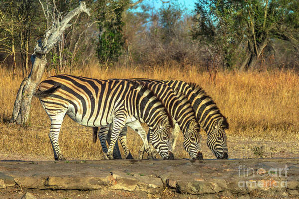 Photograph - Three Zebras Drinking by Benny Marty