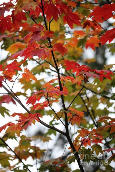 Photograph - Through Autumn Maple Leaves by Carol Groenen