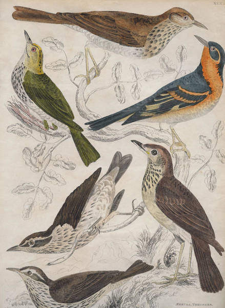 1850 Wall Art - Digital Art - Thrushes by Hulton Archive